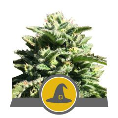 Non Feminized Exotic Witch (Royal Queen Seeds)