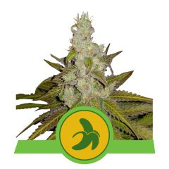 Fat Banana Automatic (Royal Queen Seeds)