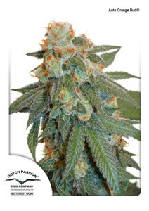 Auto Orange Bud® (Dutch Passion)