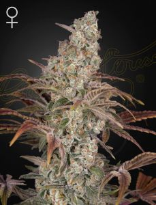 Jack's Dream (Green House Seeds®)