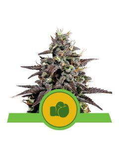 Purple Punch Automatic (Royal Queen Seeds)