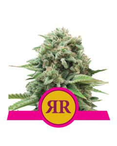 Royal Runtz (Royal Queen Seeds)