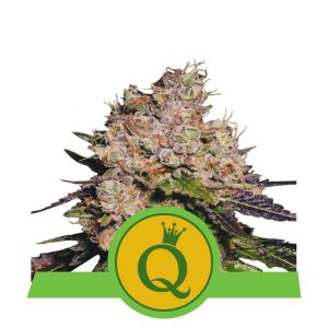 Purple Queen Auto (Royal Queen Seeds)