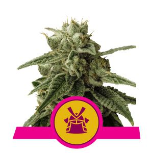 Shogun (Royal Queen Seeds)