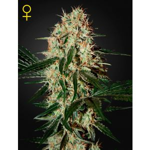 Arjan's Haze #3® (Green House Seeds®)