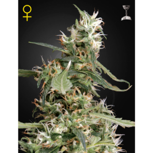 Arjan's Ultra Haze #1® (Green House Seeds®)