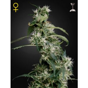 Arjan's Ultra Haze #2® [Mango Haze] (Green House Seeds®)