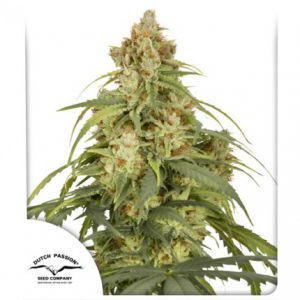 Auto CBD-Victory® (Dutch Passion)
