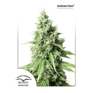 Auto Durban Poison® (Dutch Passion®)