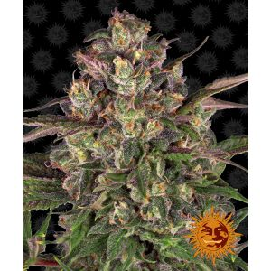 Peyote Critical™ (Barney's Farm)