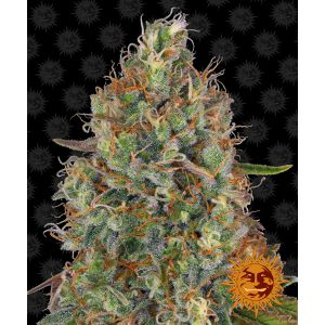 (Auto) Sweet Tooth (Barney's Farm)