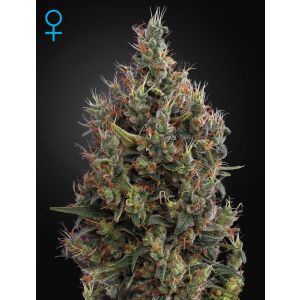 Big Bang Auto® (Green House Seeds®)