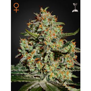 Big Bang® (Green House Seeds®)