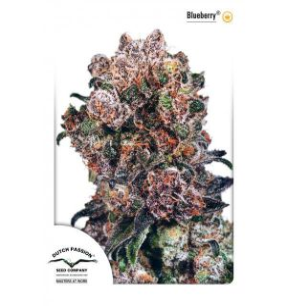 Non Feminized Blueberry® (Dutch Passion®)-10 seeds