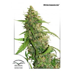 CBD Auto Compassion Lime (Dutch Passion®)