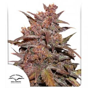 CBD Auto Blackberry Kush® (Dutch Passion®)