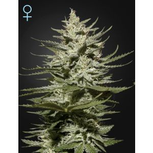 The Church CBD (Green House Seeds®)