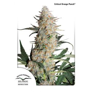 Critical Orange Punch® (Dutch Passion)