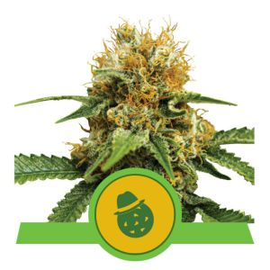 Do-Si-Dos Automatic (Royal Queen Seeds)