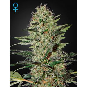 Exodus Cheese Auto (Green House Seeds)