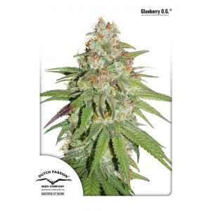 Glueberry O.G. (Dutch Passion®)