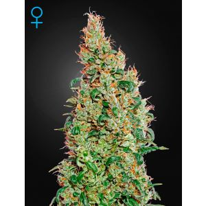 Green-O-Matic Auto®  (Green House Seeds® )