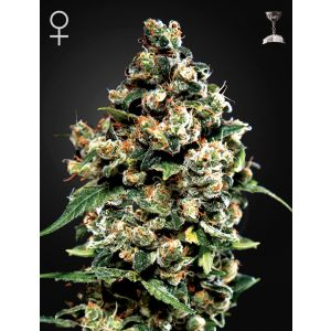 Jack Herer® (Green House Seeds®)