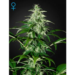 Kalashnikova Auto® (Green House Seeds®)