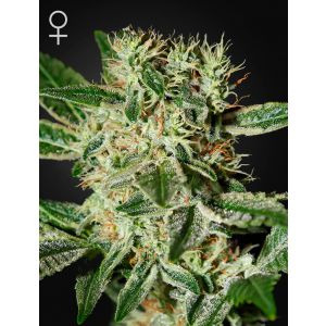 Ladyburn 1974® (Green House Seeds®)