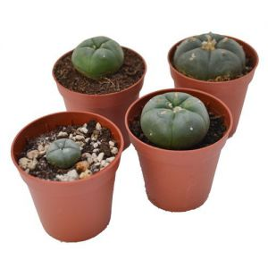 Peyote Cactus (Lophophora Williamsii) 1 - 2cm