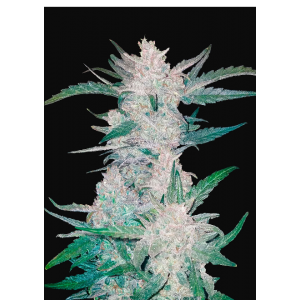 Mexican Airlines Auto (FastBuds)