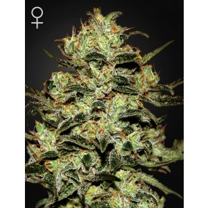 Moby Dick® (Green House Seeds®)