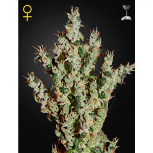 NL5 Haze Mist® (Green House Seeds®)