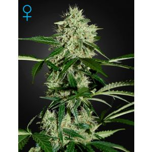 Northern Lights Auto® (Green House Seeds®)