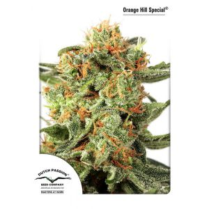 Orange Hill Special® (Dutch Passion®)
