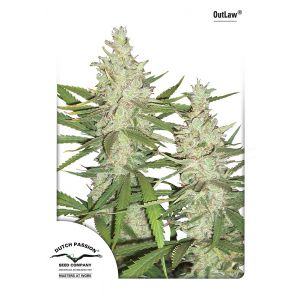 OutLaw Amnesia® (Dutch Passion®)