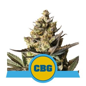 Royal CBG Automatic (Royal Queen Seeds)