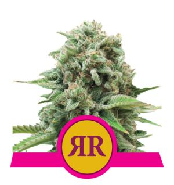 Royal Runtz (Royal Queen Seeds)
