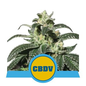Royal CBDV Automatic (Royal Queen Seeds)