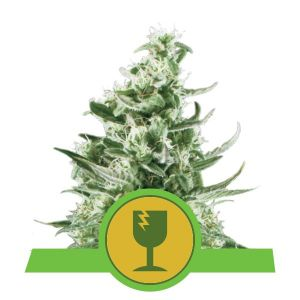 Royal Critical Automatic (Royal Queen Seeds)