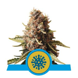 Euphoria (Royal Queen Seeds)