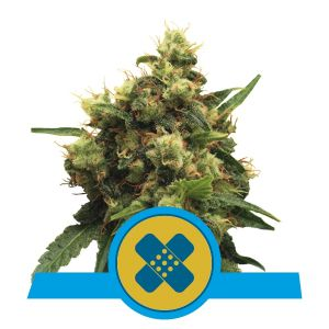 Painkiller XL (Royal Queen Seeds)