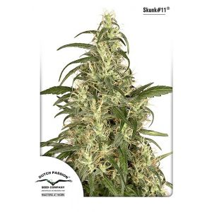 Skunk#11® (Dutch Passion®)