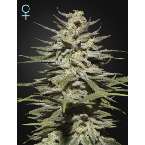 Super Lemon Haze CBD (Green House Seeds)