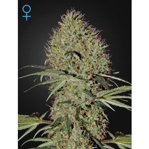 Super Bud Auto® (Green House Seeds®)