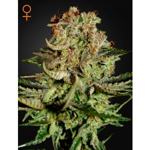 Super Bud® (Green House Seeds®)