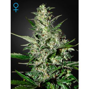 Super Critical Auto® (Green House Seeds®)