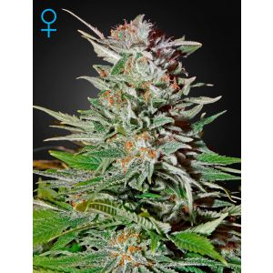 Super Lemon Haze Auto® (Green House Seeds®)