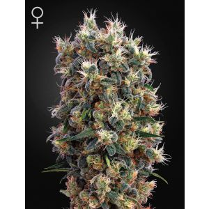 The Church® (Green House Seeds®)