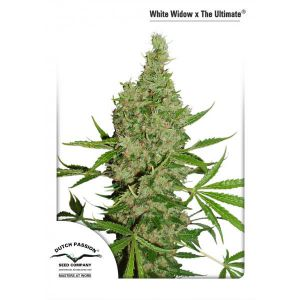Non Feminized White Widow X The Ultimate®  (Dutch Passion®)-10 seeds
